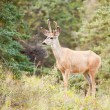 Stock Photo: Young mule deer buck with velvet antlers in taiga