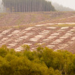 Stock Photo: Vast clearcut Eucalyptus forest for timber harvest