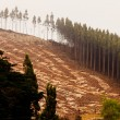 Vast clearcut Eucalyptus forest for timber harvest - Stock Photo