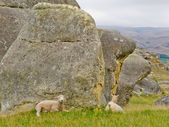 Sheep on a mountain pasture between granite rocks — Stock Photo