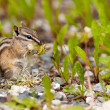 Least Chipmunk Tamias minimus foraging dandelions — Stock Photo