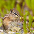Stock Photo: Least Chipmunk Tamias minimus foraging dandelions