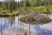 Castor canadensis beaver lodge in taiga wetlands — Stock Photo