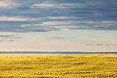 熟した小麦畑で劇的な空の下での夕陽 — ストック写真