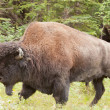 Male wood buffalo Bison bison athabascae walking — Stock Photo