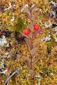 Northern Comandra Geocaulon lividum orange drupes — Stock Photo