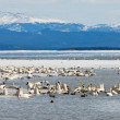 Migratory waterfowl Swan Haven Marsh Lake Yukon — Stock Photo #37201315