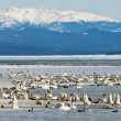 Migratory waterfowl SwHaven Marsh Lake Yukon — Stock Photo #37201337