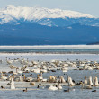Migratory waterfowl Swan Haven Marsh Lake Yukon — Stock Photo #37201337