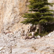 Stone Sheep Ovis dalli stonei resting herd — Stock Photo