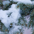 Stock Photo: Fresh snow thawing in conifer tree branches