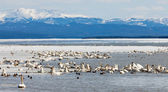 Migratory waterfowl Swan Haven Marsh Lake Yukon — Stock Photo