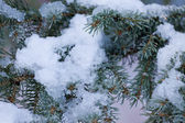 Fresh snow thawing in conifer tree branches — Stock Photo