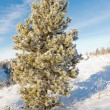Hoar frost covered pine tree winter snow landscape — Stock Photo #37348747