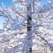 Winter taiga black spruce tree hoar frost covered — Stock Photo