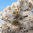 Winter pine tree detail hoar frost snow covered — Stock Photo #37348833