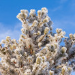 Stock Photo: Winter pine tree detail hoar frost snow covered