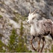 Walking female Stone Sheep Ovis dalli stonei — Stock Photo