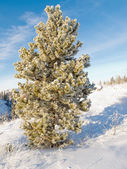 Hoar frost covered pine tree winter snow landscape — Stock Photo