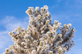 Winter pine tree detail hoar frost snow covered — Stock Photo