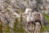 Walking female Stone Sheep Ovis dalli stonei — Stock Photo