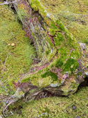 Old decaying lichens moss covered taiga tree trunk — Stock Photo