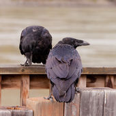 Two Common Ravens Corvus corax interacting — Stock Photo