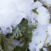 Fresh snow thawing on green wilted plant leaves — Stock Photo