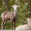 Two young Stone Sheep Ovis dalli stonei watching — Stock Photo
