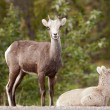 Stock Photo: Two young Stone Sheep Ovis dalli stonei watching