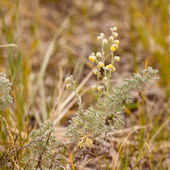 Wild Sage Wormwood Artemisia figida yellow flower — Stock Photo