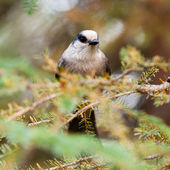 Grey Jay Perisoreus canadensis watching perched — Stock Photo