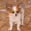 Chihuahua — Stock Photo #21352599