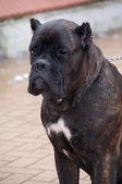 Cane corso dog sitting — Stock Photo
