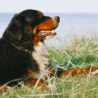 Bernese mountain dog looks ahead — Stock Photo