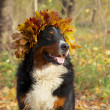 Dog in yellow leaves crown — Stock Photo