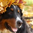 Bernese mountain dog in yellow leaves — Stock Photo