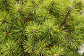 Undecorated fir twigs — Stock Photo