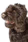 Giant schnauzer head — Stock Photo