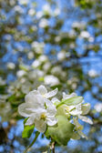 Blossoming twigs — Stock Photo