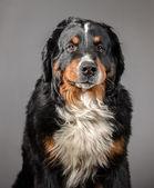 Sad dog on gray background — Stock Photo