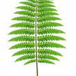Fern Leaf — Vettoriali Stock