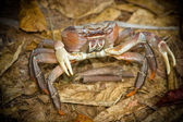 A crab in natural environment — Stock Photo