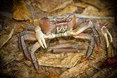 En krabba i naturlig miljö — Stockfoto