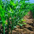 Row of corn on an agricultural field. — Stock Photo #33015359