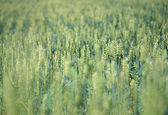 świeży zielony kukurydza na niwa z niebieski niebo jako tło — Zdjęcie stockowe