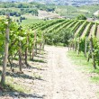 Italy - Piedmont region. Barbervineyard — 图库照片 #12700393