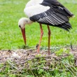 Постер, плакат: Mother stork feeding its youngs