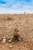 Baboon in Kenya — Stockfoto