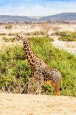 Wolna żyrafa w kenii — Zdjęcie stockowe